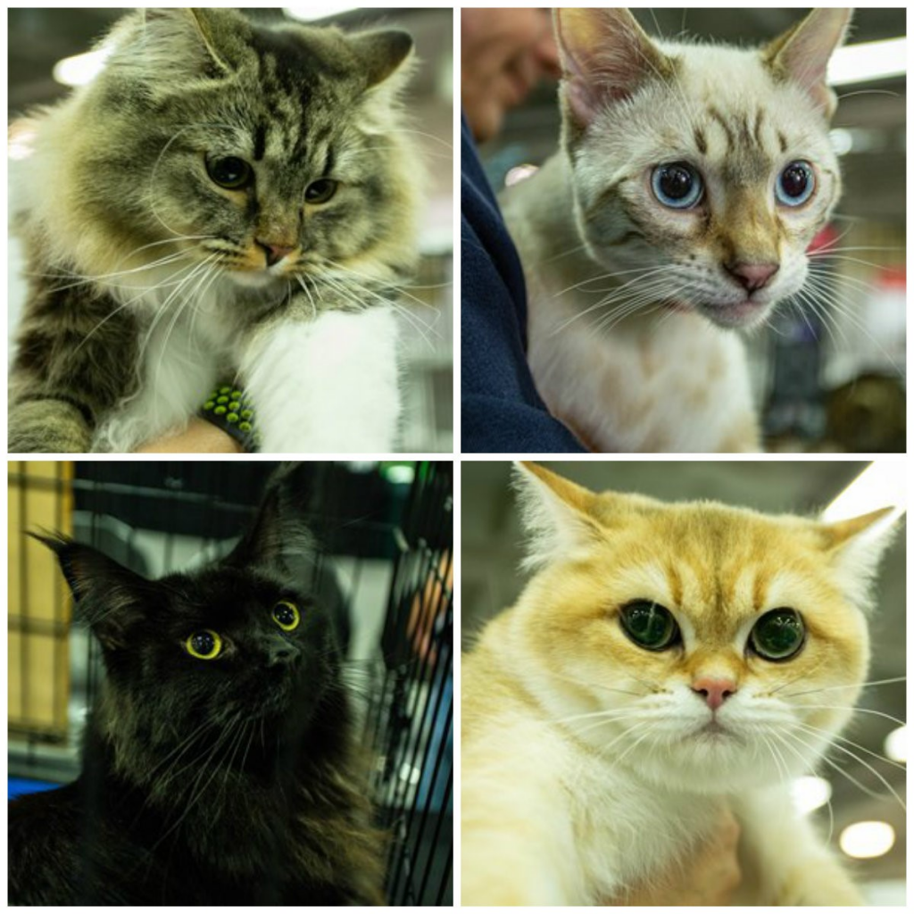 VI Exposición Felina Expopet sorprende con más de 130 gatos